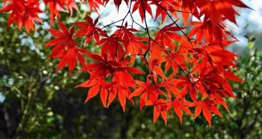 古诗词里的红叶,到底有多美?