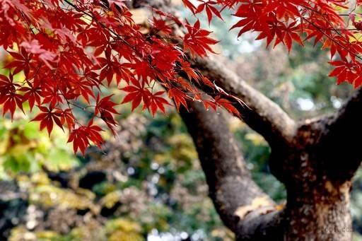 红枫树的叶子